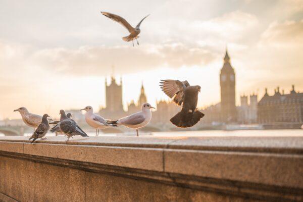 messenger pigeons Signewords